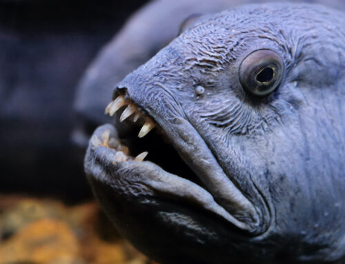 What is Wolffish?